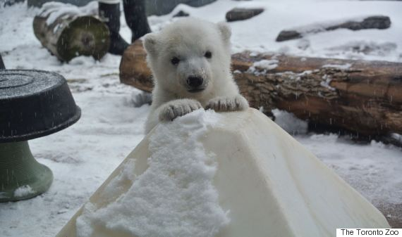 polar bear snow