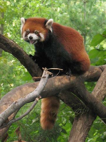 lessar panda