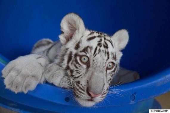 tiger cubs 3