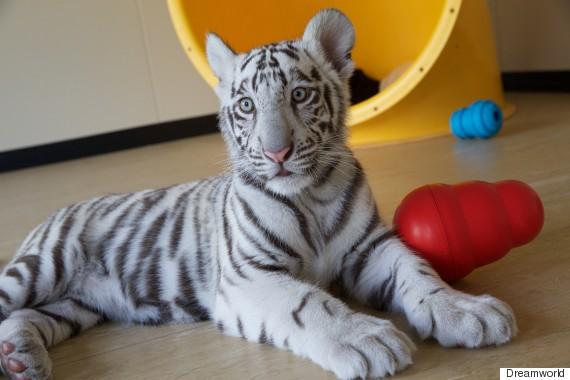 tiger cubs 4