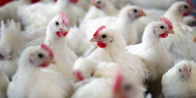 """Une """"hécatombe"""" de poulets à cause d'une grippe aviaire? La Fisa dément"""