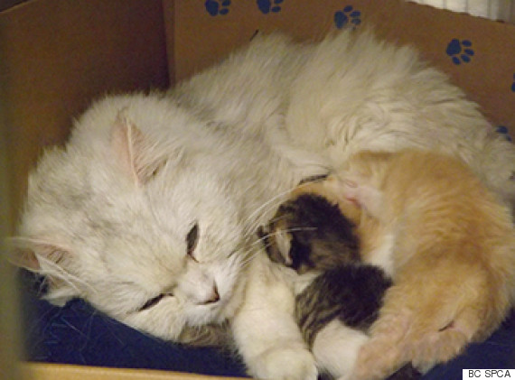 cat kittens bc spca