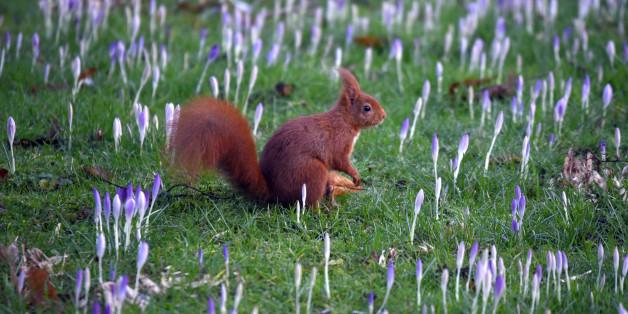 Ende Januar war es wie zum Frühlingsbeginn: Ein Eichhörnchen in Mitten von Krokussen in Köln