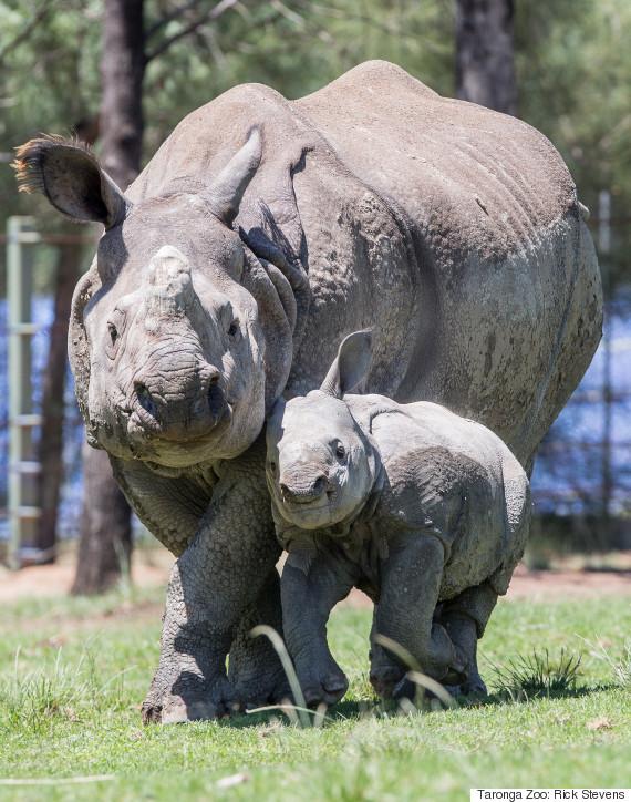 baby rhino 2