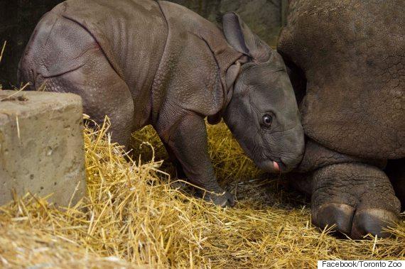 toronto zoo baby rhino
