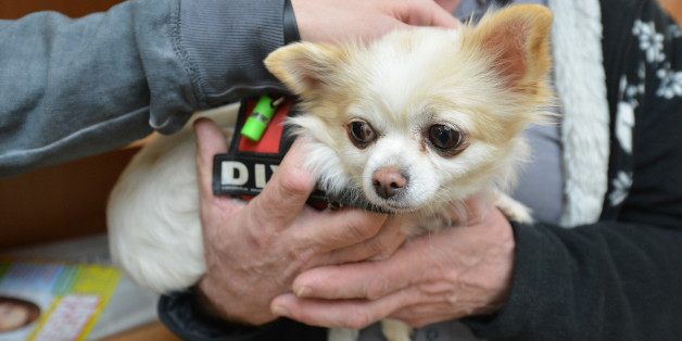 Der Chihuahua Faye hilft den Patienten in der Uniklinik Tübingen