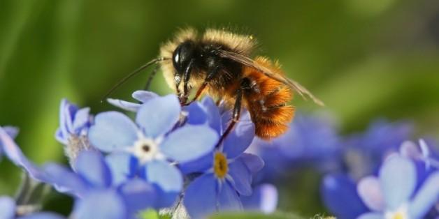 Le déclin des pollinisateurs comme les abeilles menace une partie de la production agricole mondiale