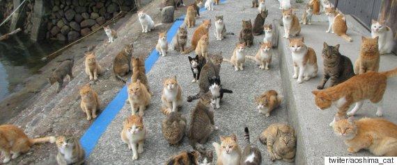 aoshima_cat