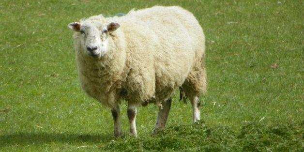 Melilla interdit l'importation de moutons marocains pour l'Aïd