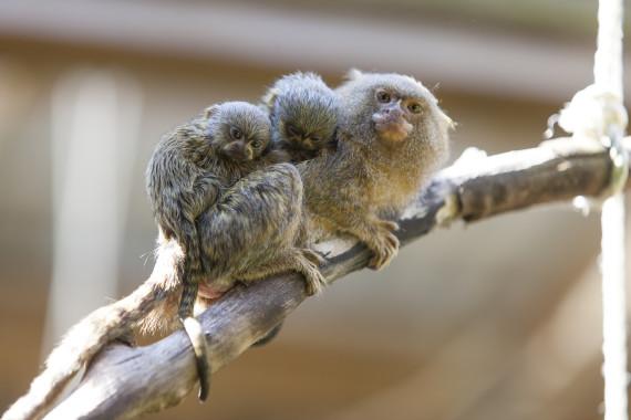 marmosets baby cute symbio