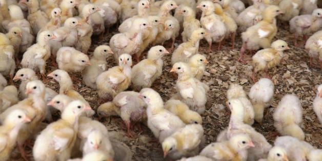 Les États-Unis vont mettre fin au broyage des poussins vivants (contrairement à la France)