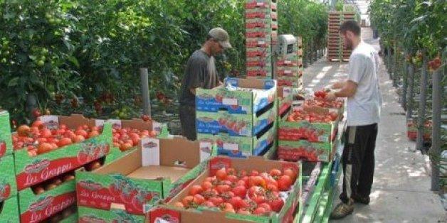 """Les agriculteurs italiens dénoncent """"l'invasion"""" de tomates marocaines"""