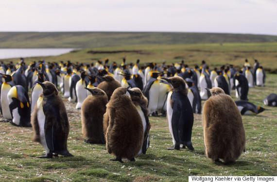 falkland islands king penguins