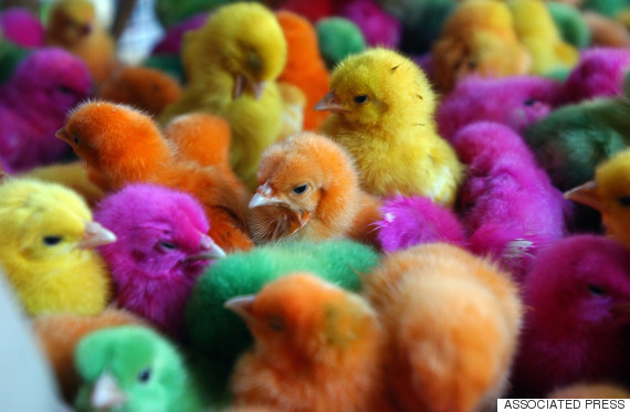 dyed chicks