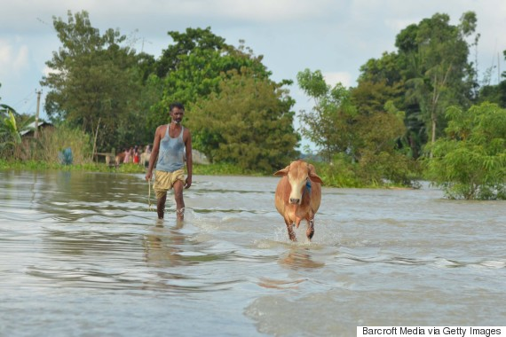 cattle india