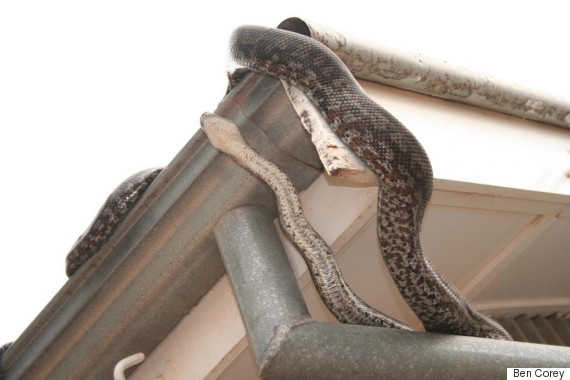 carpet python roof attic conservation
