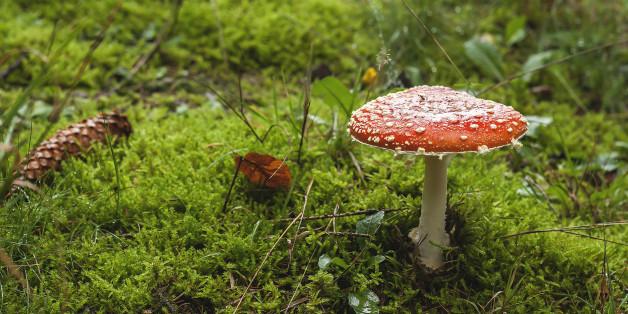사진 속 버섯은 독버섯으로 알려진 광대버섯(fly agaric mushroom)이다. 하지만 이 버섯에도 오르가즘의 효과는 없다.