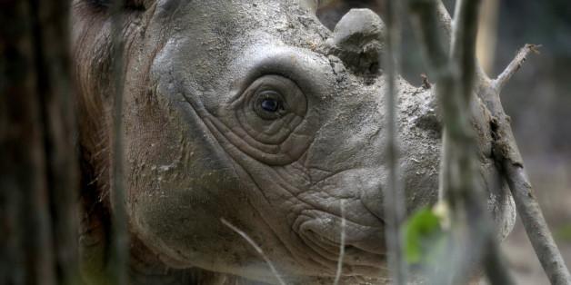 An 8-year-old male Sumatran rhino named Harapan (hope) walks inside a cage at Way Kambas National Park on Sumatra Island Indonesia, Thursday, Nov 5, 2015. (AP Photo/Tatan Syuflana)