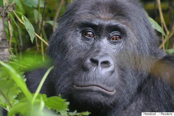 grauer gorillas