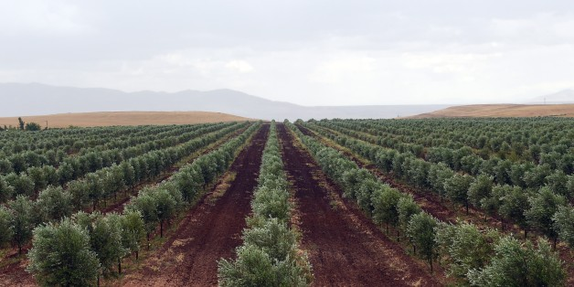 TO GO WITH AFP STORY BY EMMANUELLE MICHEL A picture shows an olive field of Moroccan Agro-Industrial company, Lesieur Cristal, in Meknes, on May 25, 2015 . AFP PHOTO / FADEL SENNA        (Photo credit should read FADEL SENNA/AFP/Getty Images)