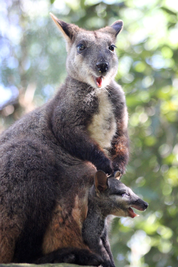 brush tailed rock wallaby diapause embryonic
