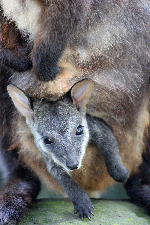embryonic diapause wallaby zoo