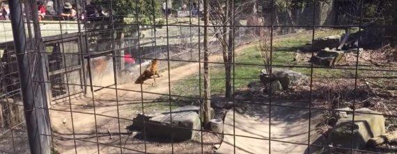 tiger fence jumper