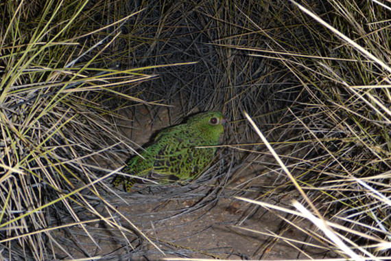 night parrot pullen extinct western queensland