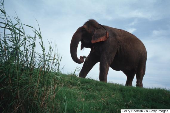 sambo elephant