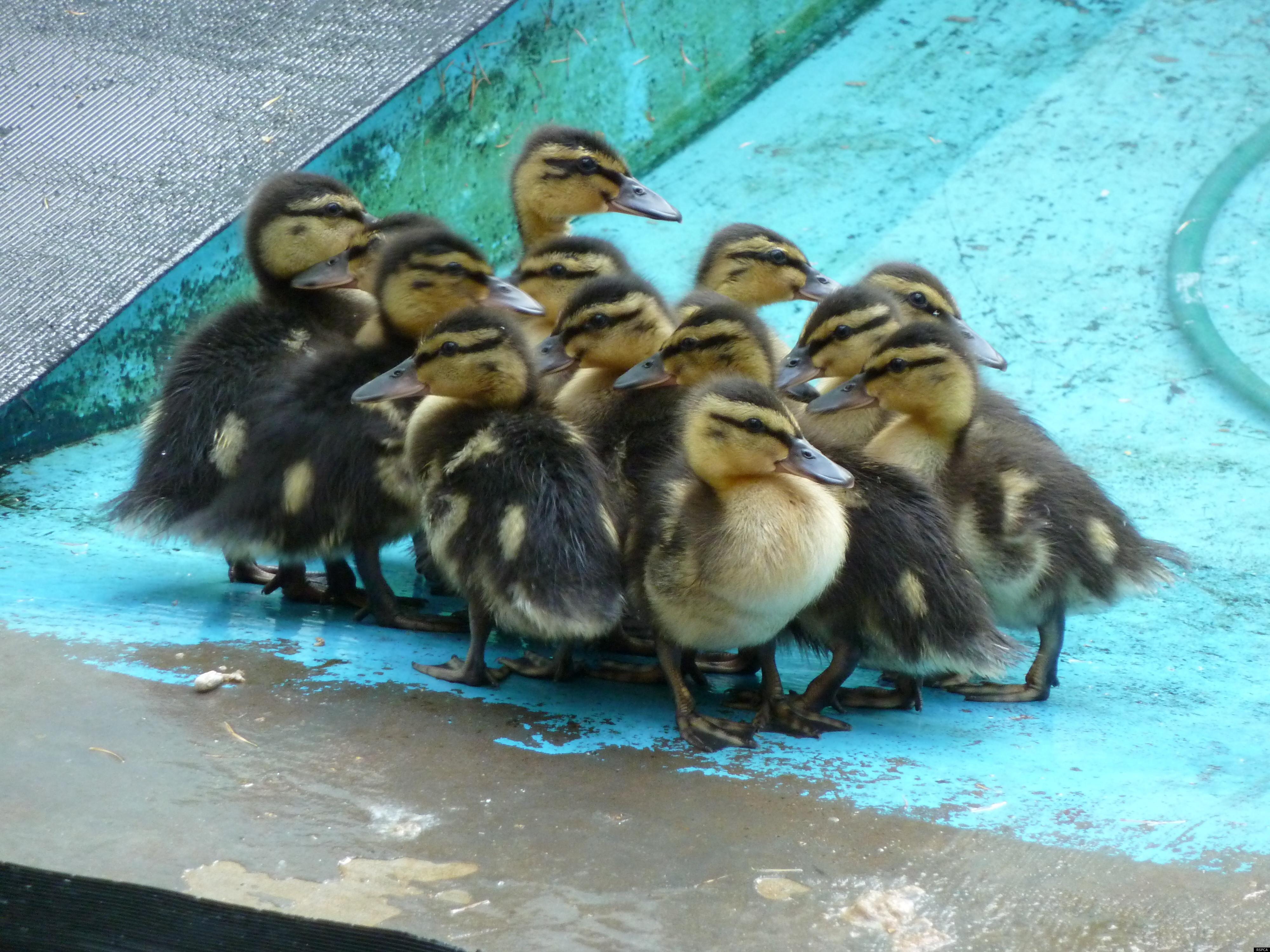 Mallard Ducklings Duck Breeds Cute Funny Animals Duck Breeds