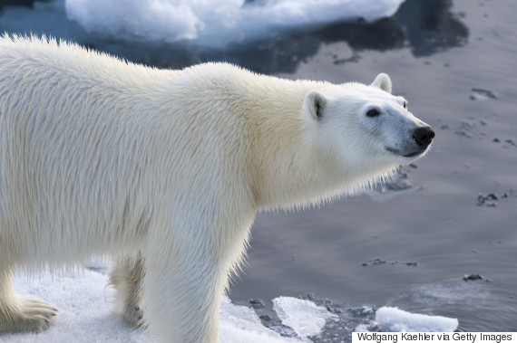 polar bear arctic