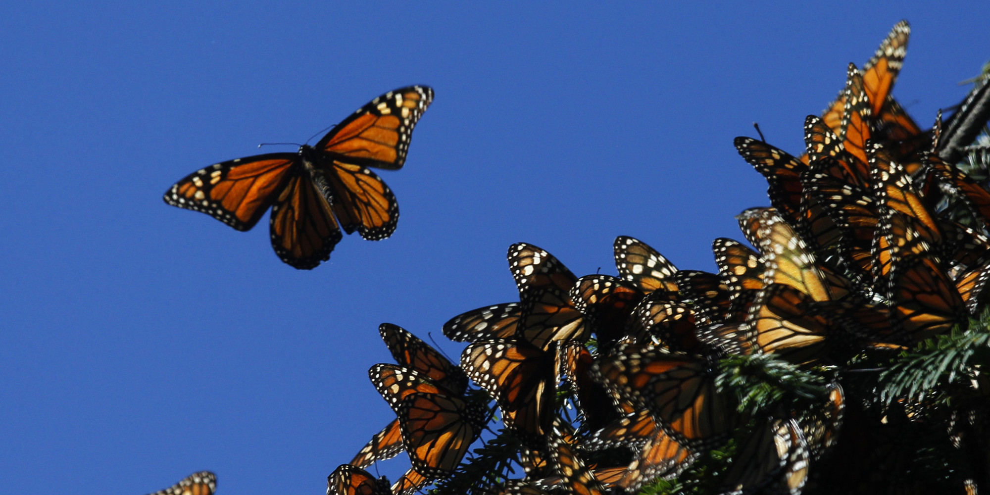 Endangered Monarch Butterflies Face Their Greatest Threat