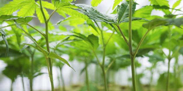 Marijuana plant, Cannabis Background.