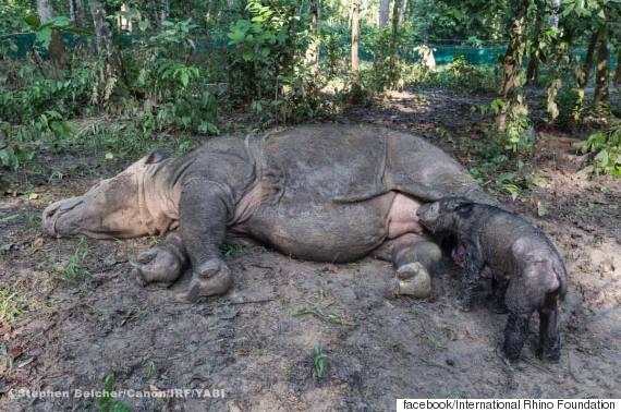 sumatran rhino baby