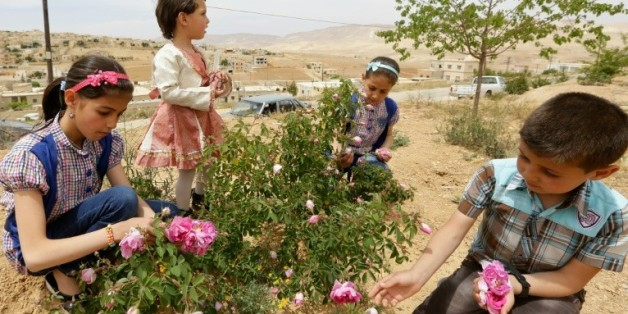 Cueillette de roses de Damas à el-Mrah, près de Damas, le 11 mai 2016