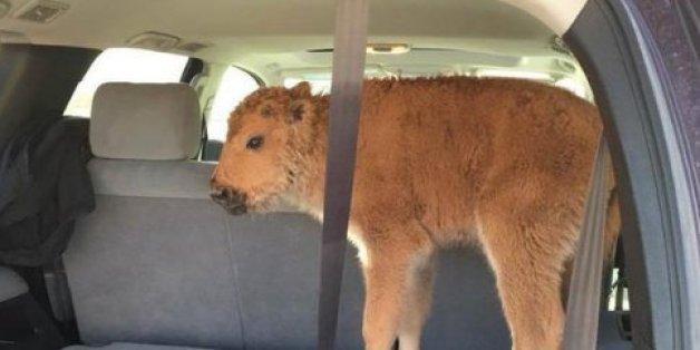 Touristen nahmen ein Baby-Bison mit, weil sie dachten, es wäre in Not - mit fatalen Folgen