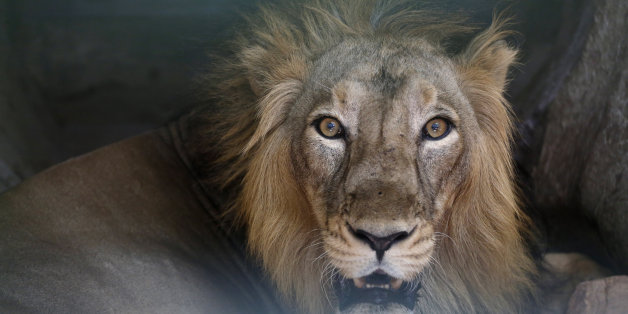 An Asiatic lion reacts from its enclosure at the Kamala Nehru Zoo on a hot summer day in Ahmadabad, India, Saturday, May 14, 2016. Much of India has been suffering from a heat wave for weeks along with a severe drought that has decimated crops, killed livestock and left at least 330 million Indians without enough water for their daily needs. (AP Photo/Ajit Solanki)