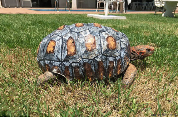 carapace tortue