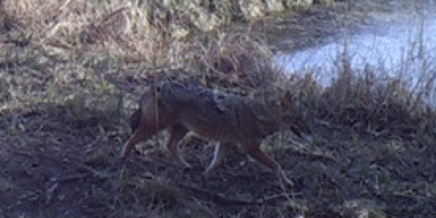 Dieses Tier hat eine Fotofalle bei Greifswald fotografiert. Es sieht aus wie ein Wolf - ist aber ein viel seltenerer Goldschakal