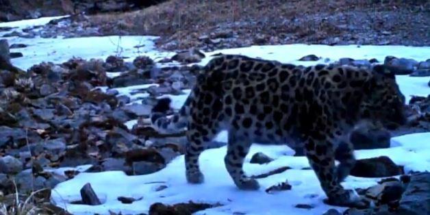 Un léopard Amur se baladant près d'une rivière au coeur du parc Amur-Heilong, entre la Russie et la Chine