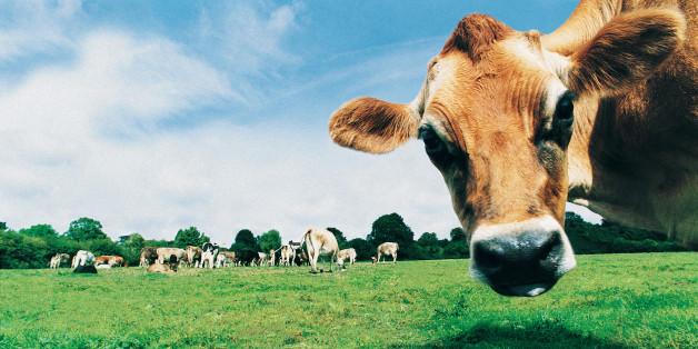 Bekommt eine Kuh Antibiotika, dann wird ihr Dung vermutlich klimaschädlicher. Denn dieser enthält dann mehr Methan