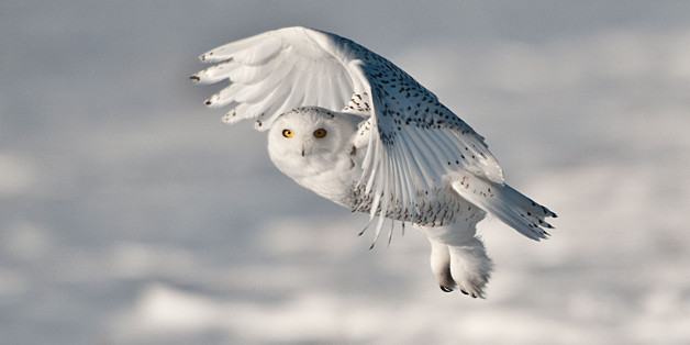 Snowy Owl in Flight (Photo by: Education Images/UIG via Getty Images)