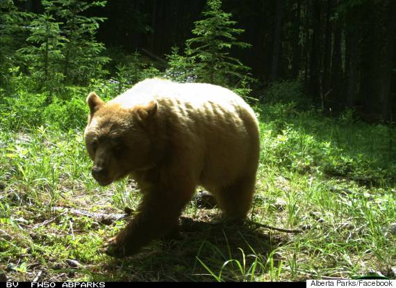 canmore bear