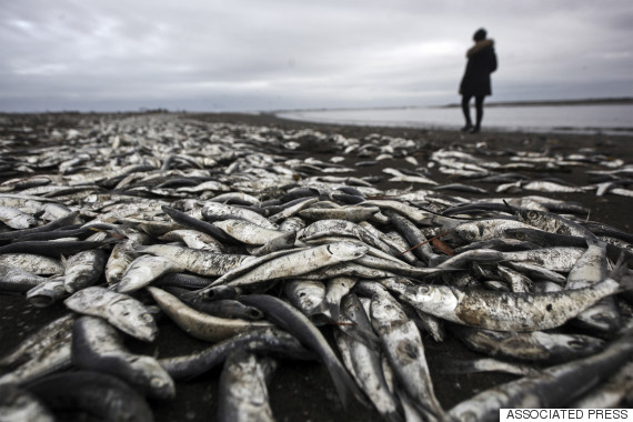 dead sardines blanket