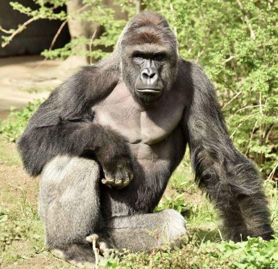 gorila harambe