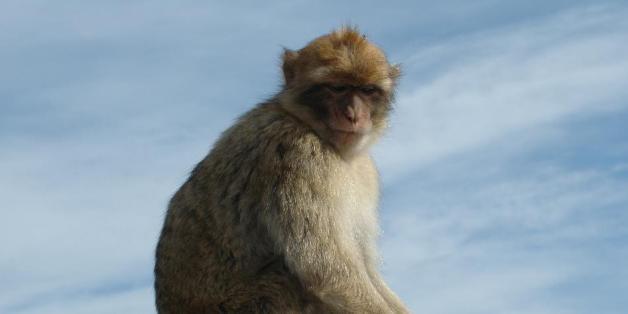 Les touristes doivent (vraiment) arrêter de nourrir les macaques de barbarie