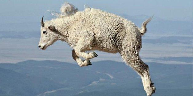 Todesmutige Bergakrobaten: Kaum zu glauben, wofür diese Ziegen ihr Leben riskieren