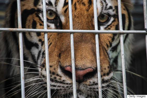 thailand tigers