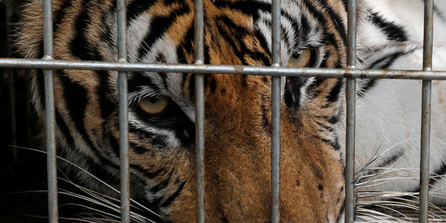 A tiger is seen in a cage as officials continue moving live tigers from the controversial Tiger Temple, in Kanchanaburi province, west of Bangkok, Thailand, June 3, 2016. REUTERS/Chaiwat Subprasom