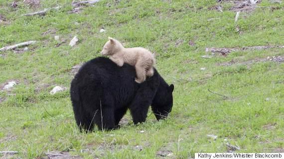 cream bear whistler